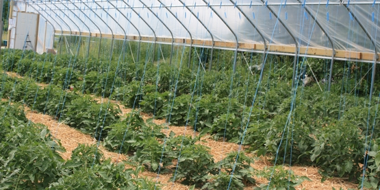 Vegetable Pest and Cultural Management Field Meetings for Vegetable Growers