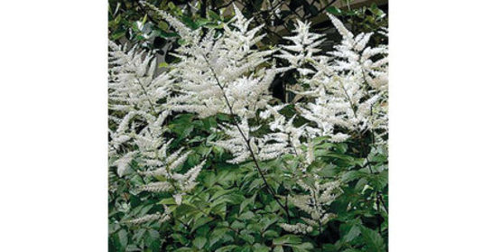Astilbes thrive in moist, humus-rich soil in dappled sunlight. Colors hold best on flowers grown in part shade. Water: Keep soil evenly moist. Plants will tolerate sunny sites given ample moisture. Soil pH: 5.5 to 6.8 Growing tip: Grow in shady borders, along shady paths or on the edge of a pond.