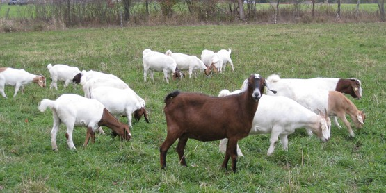 small ruminants (sheep or goat);  (past class with Audrey Reith) goats in field IMG_0025