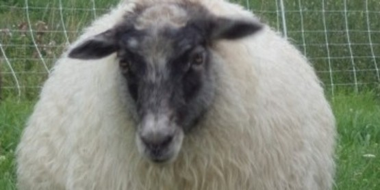 Sheep and Wool Day at Flint and Steel Farm