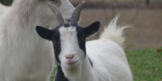   2018 Cornell Sheep & Goat Symposium