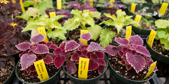 Coleus plants in a greenhouse.