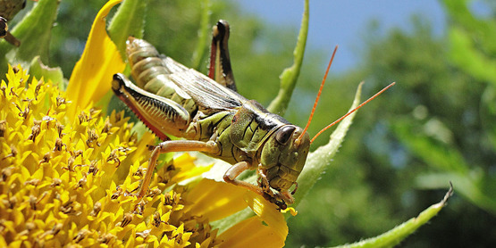 Pest Management - Grasshopper