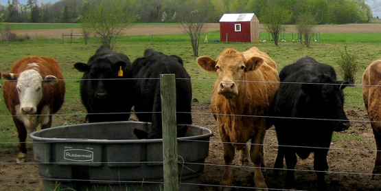 Tim Haws of Autumn Harvest Farm in Romulus NY with his beef cattle.