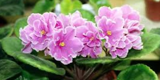 Care of African Violets