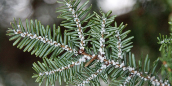 FREE Hemlock Woolly Adelgid Workshop - Monday, February 25th at 6PM