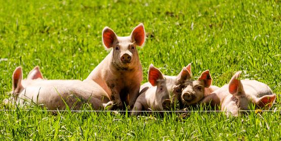 Swine 101