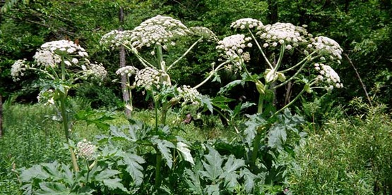 Field infestation of Giant Hogweed (Heracleum mantegazzianum)