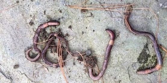 Jumping worms found beneath a potted plant