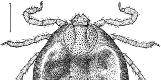 Longhorned Tick