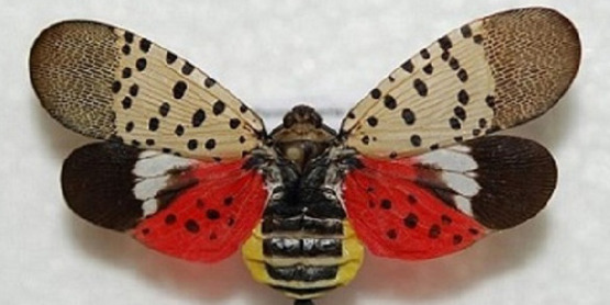 Spotted Lanternfly: Updates and Outlook