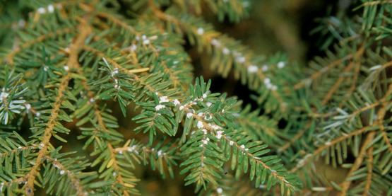 hemlock woolly adelgid/ Adelges tsugae Annand USDA Forest Service