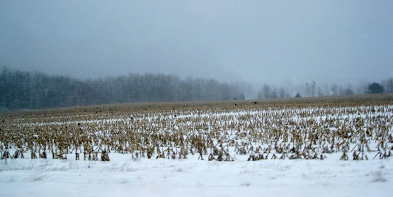 corn field in winter