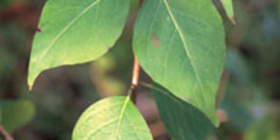 Exotic Bush Honeysuckles foliage