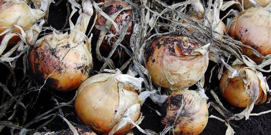 onions onion school