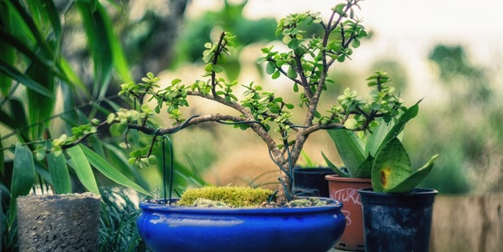 Bonsai, table top, planters