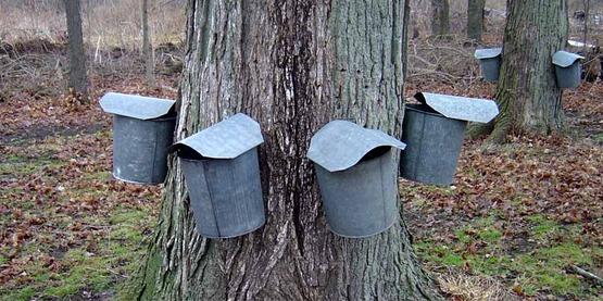 Maple buckets on tree