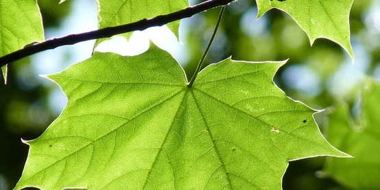 Sugar Maple leaf in the full sun