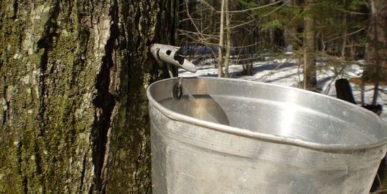Maple tree being tapped for the sap collection