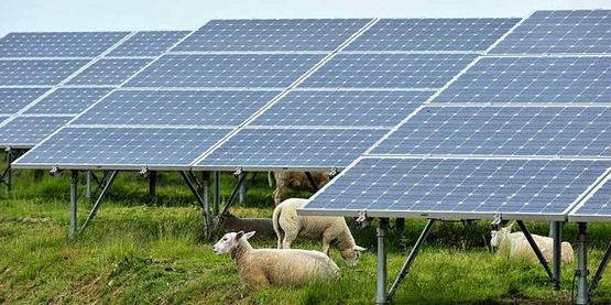 Sheep grazing under solar panels in Solar Park of the Benelux, Deme in Belgium