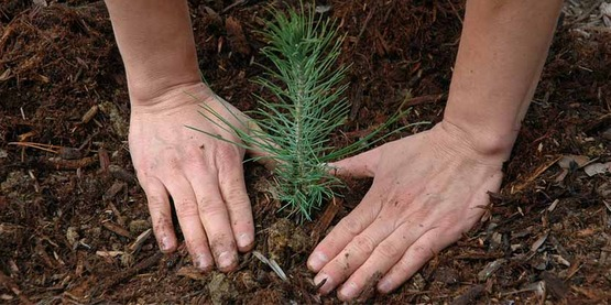 Close-up view of hands surrounding a pine tree seedling freshly planted in February 2009, US Forest Service, Pacific Southwest Region 5