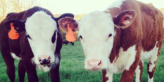 cows and shoes