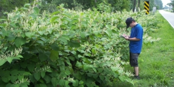 Japanese Knotweed size comparison
