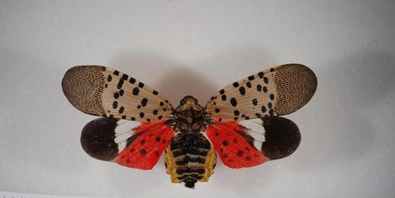 Spotted Lantern Fly, a New Local Invasive Species
