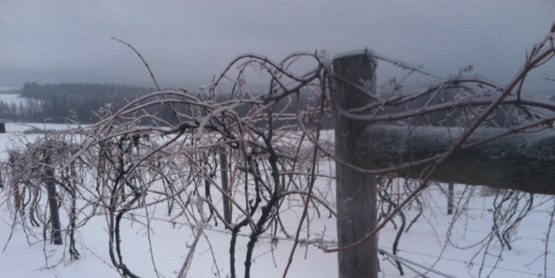 Grapevine Training and Pruning Workshop