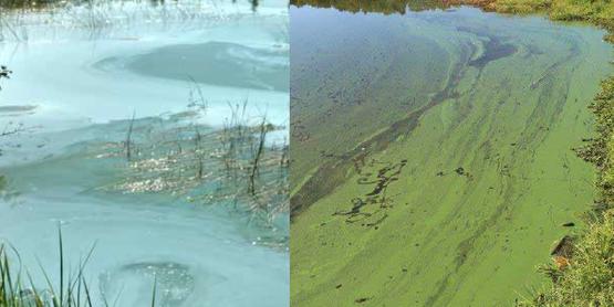 harmful algae blooms