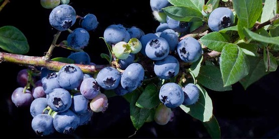 Blueberry Intensive Workshop