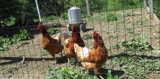 Cornell Cooperative Extension | Backyard Chickens for ...