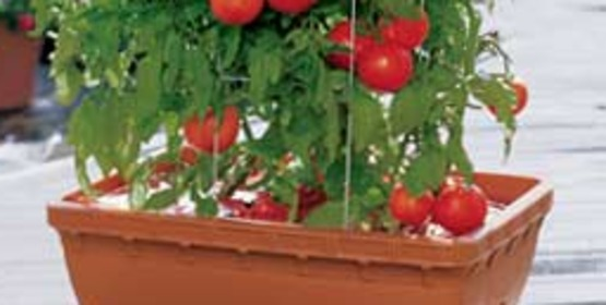 Tomato plants grow well in containers