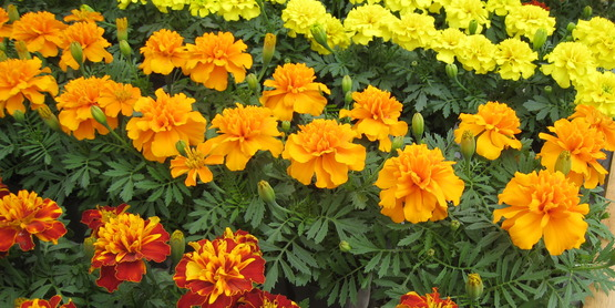 Marigolds ready for market.
