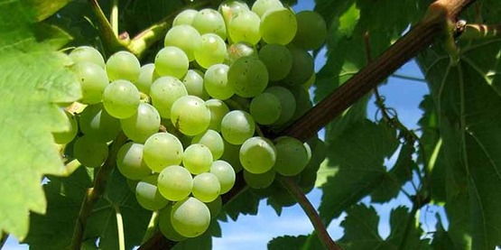 Seyval Blanc grapes