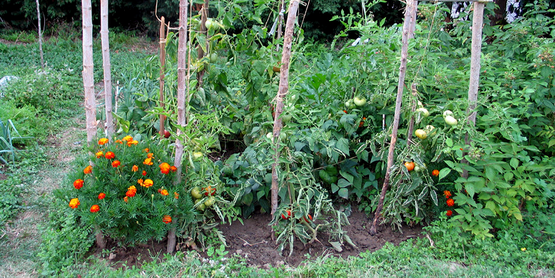 Home vegetable garden.