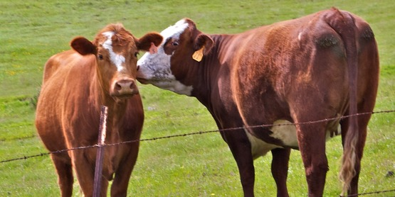 cattle kissing
