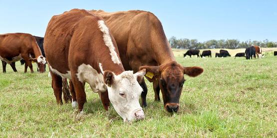 Beef Cattle Grazing In Pasture