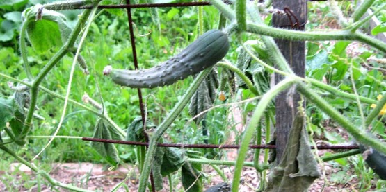 Cucumbers growing on a trellis, with wilt