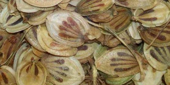 Seed of giant hogweed (Heracleum mantegazzianum)