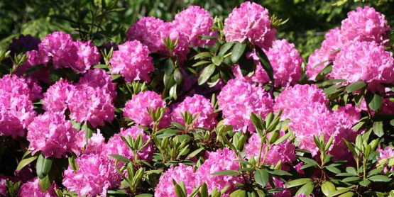 Rhododendrons are always popular in the home landscape.
