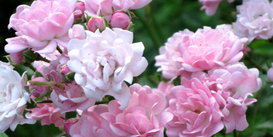 Pretty pale pink roses.