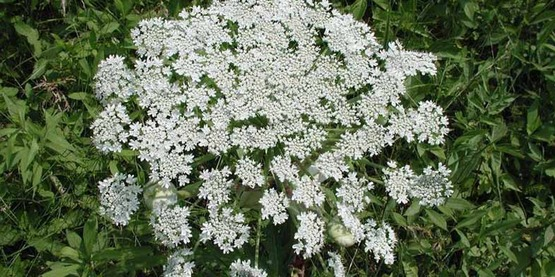 Gian Hogweed (Heracleum mantegazzianum) in bloom.