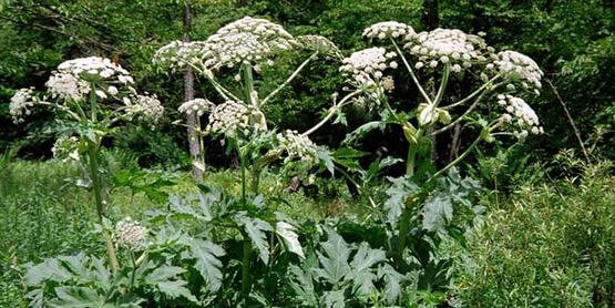 Field infestation of Giant Hogweed (Heracleum mantegazzianum)