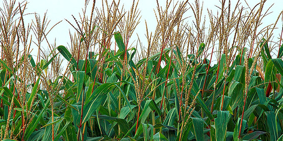 Corn tassels, USDA photo