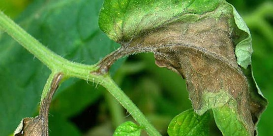 Leaf lesions on tomato due to late blight