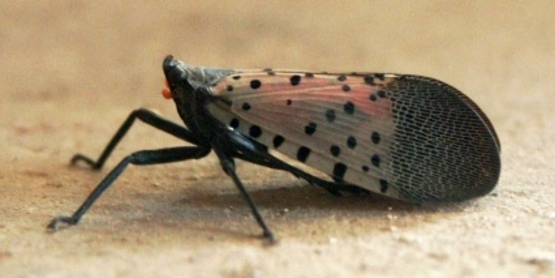 Spotted lanternfly adult from Wikimedia Commons