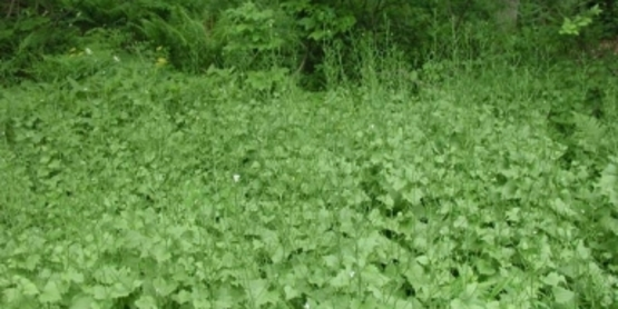 Garlic Mustard infestation