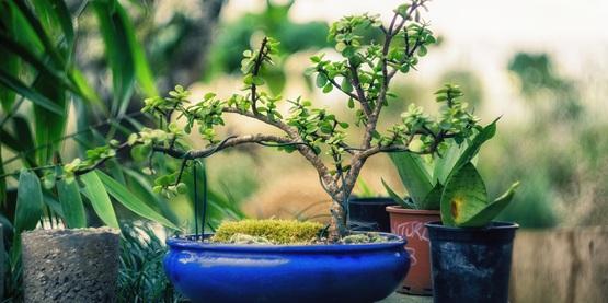 Bonsai, table top, planters
