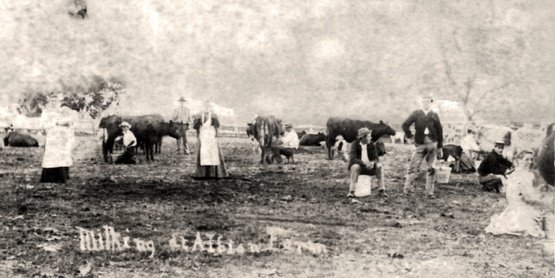 Milking at Albion Farm, 1862